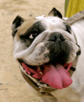Dog Nutrition: Selecting the Best Diet for Your Bulldog