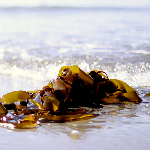 Kelp washed up on a beach (Creative Commons CC.BY.3.0) via Flickr.