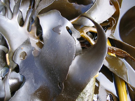 Kelp washed up on the beach just waiting to make you a slippery, slimy bath (Creative Commons CC.BY.3.0).