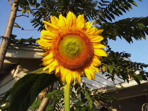 When the heat of our soul is fired up, then just as the heat of the 109 temp in Oklahoma and a beautiful sunflower still standing gives us hope for a better day. Help teach and grow our children to be spiritually filled with God.
