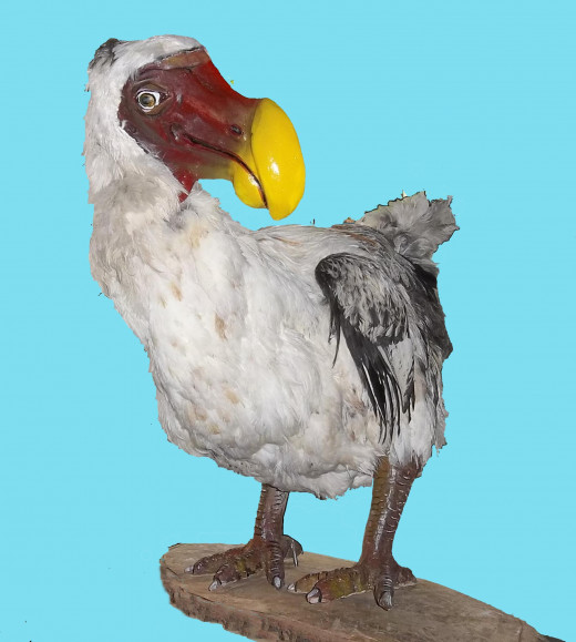 The Dodo: Extinct since the early 1700's