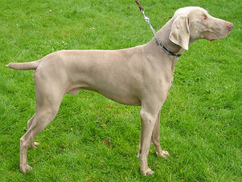 Bloodhounds are best known for sniffing out missing people. But Weimaraners, like this one, are pretty good tracking dogs too.