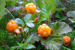 These berries are hard to find. They grow on wetlands. They have a very special, delicious taste. Cloudberries are great with vanilla icecream.