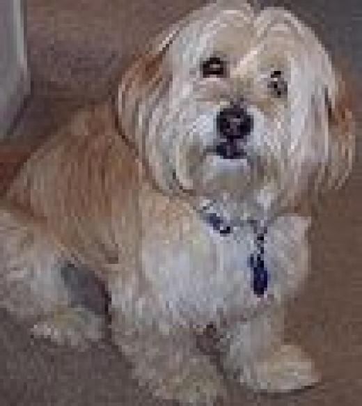 Buddie, tibetan Terrier