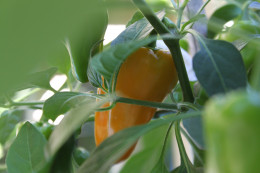A Jalapeno pepper turning orange in my container garden