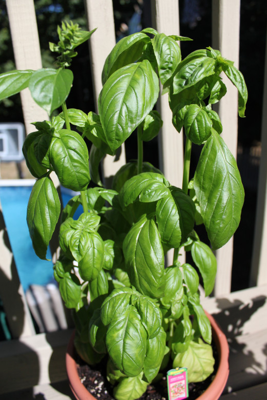 Basil growing in a pot on my back deck.