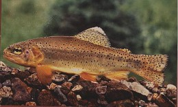 AZ State Fish: Arizona Trout [3]