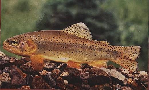 AZ State Fish: Arizona Trout [3]