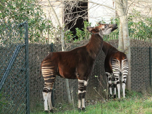Okapi are rare. They are the closest relative to giraffes