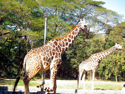 There are 9 species of giraffes