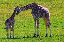 Giraffe babies grow for many years until adulthood