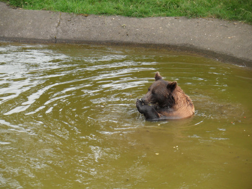 Brown bear at feeding time