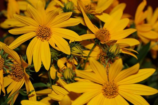 The daisy like flowers of Helianthus tuberosus, or the sunchoke.