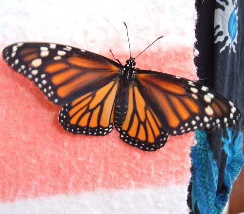 Monarch Butterfly female. Photo by Steve Andrews