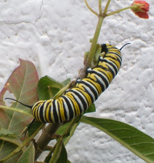 Monarch Butterfly caterpillar on Milkweed. Photo by Steve Andrews
