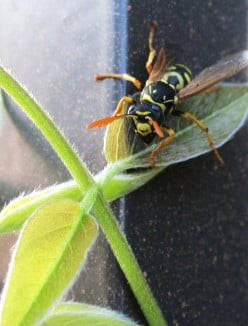 How to Make a Chemical Free Wasp Trap