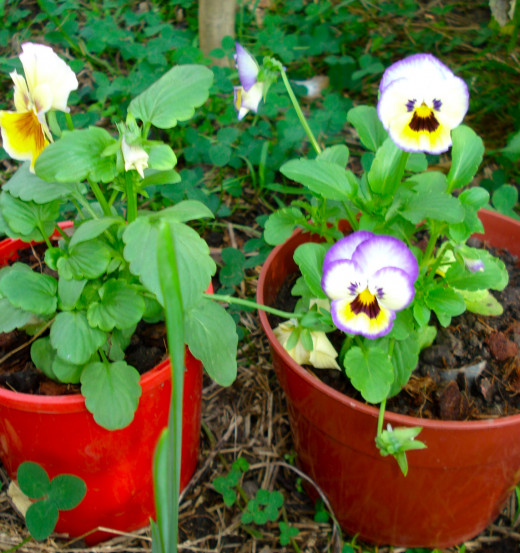 Lovely little pansy faces