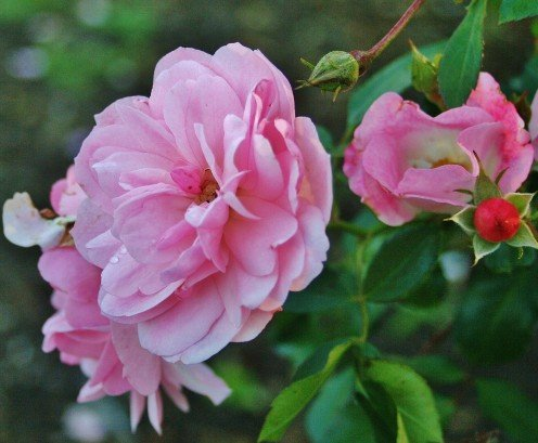 Bare-root rosebushes, which should be planted in winter, are usually less expensive than potted rosebushes.