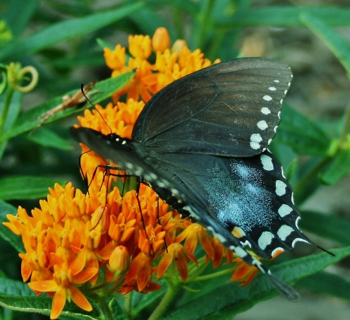 Here in MD, butterfly weed (Asclepias tuberosa) is a native plant.