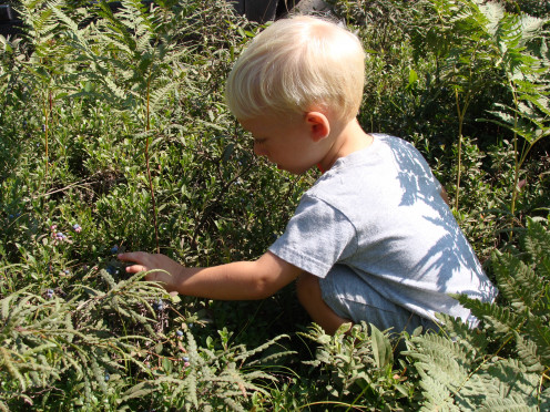 Picking blueberries is great fun for the whole family.