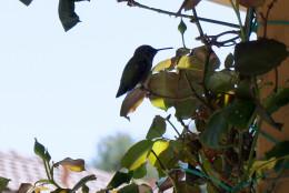 Humming Bird, Rancho Bernardo