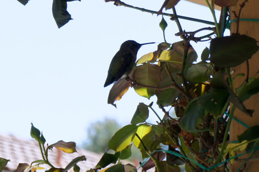 Humming Bird, Rancho Bernardo