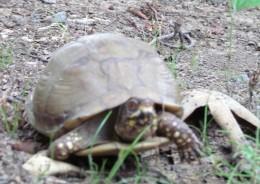 Turtle Rescue - Turtle rescues us - Rain