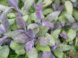 Sage (Salvia officianalis - purple variety)