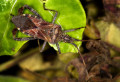 Elm Seed Bug Control: How to get rid of Elm Seed Bugs?