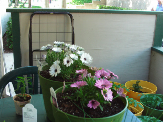 Purple and white flowers planted in containers make a nice addition to any patio.