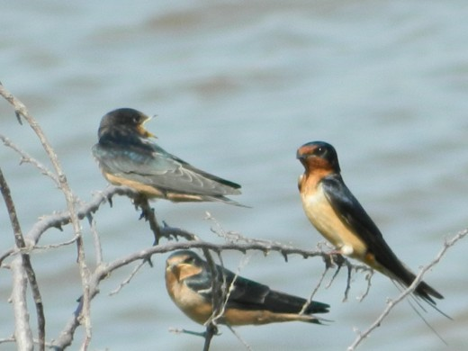 Barn Swallows(Left) with Bank Swallow(Right)