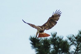 Red Tailed Hawk on duty!