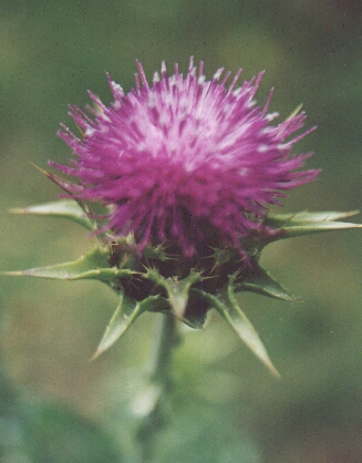 Milk Thistle. Photo by Steve Andrews