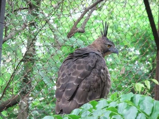 Java eagle (Spezaetus bartelsi) at Bandung zoo.