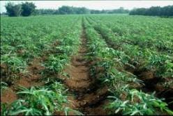 How to Farm Cassava / Manioc