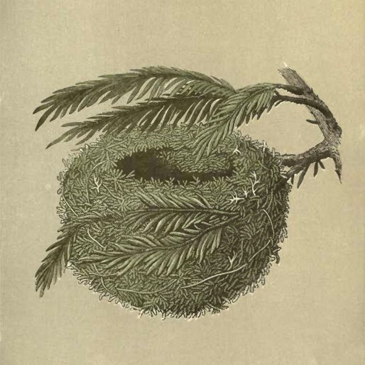Nest of Gold Crest