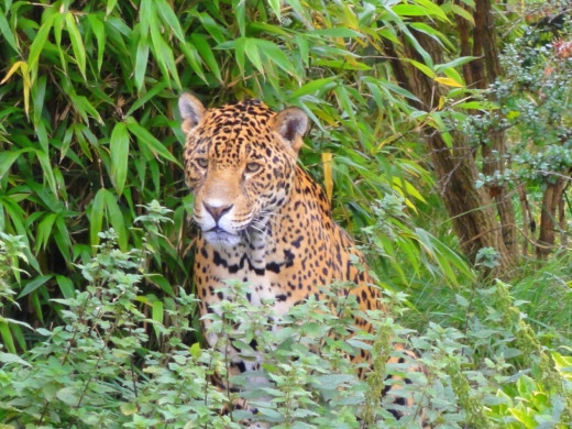 Jaguar at Chester Zoo.