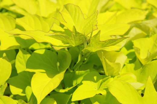 Ornamental sweet potato vine produces lush foliage and is a rapid grower.
