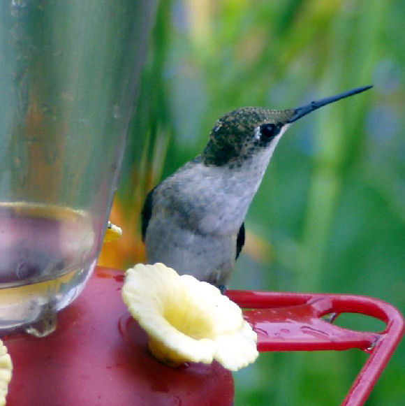 Attracting Hummingbirds To The Backyard Garden By Growing Flowers They Love  | HubPages
