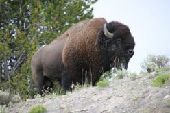 Enjoying The Wildlife Of Yellowstone National Park Safely