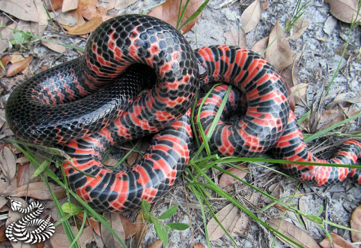 mud snake. Photo by Glenn Bartolotti, This file is licensed under the Creative Commons Attribution-Share Alike 3.0 Unported license.