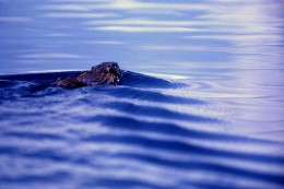 A muskrat swims away from you. Don't be offended.