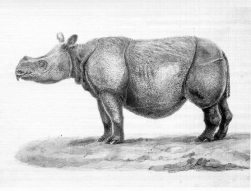 This one does not have horns like either the Javan or Sumatran Rhino, nor does it have armor like skin. There are five types of Rhinos in the world known today.
