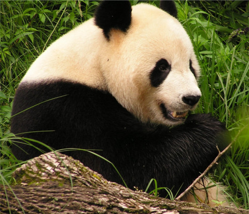 The giant panda, after DNA testing, is in fact a bear, despite previous beliefs.