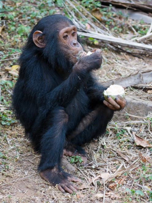 Chimpanzees use tools, which is a trait only known to some primates and humans.