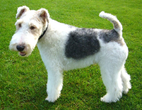 Basil the Wire Haired Fox Terrier