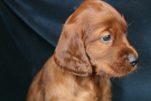 5 month old Irish Setter Puppy