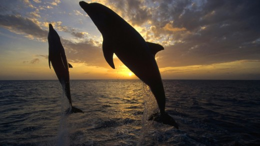 Even The Dolphins Celebrate Florida Sunsets.