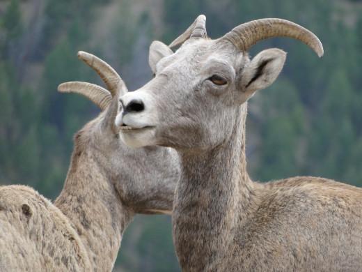 Mountain Goats in Bittersweet Mts