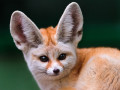 The Fennec Fox, One of the Cutest Animal from Desert Habitat